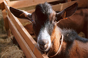 Chèvre-Feuille